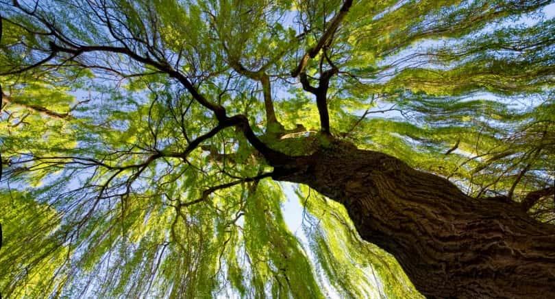willow_tree__christchurch__new_zealand-810x436.jpg