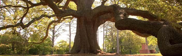 Emancipation Oak / image:  Remarkable Trees of VA