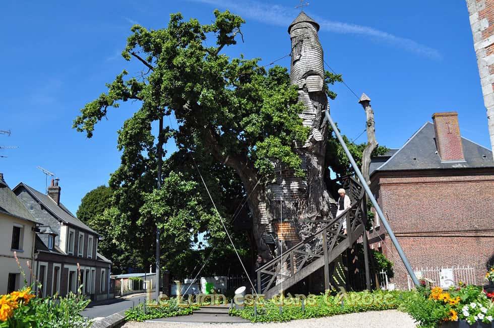 Chapel Oak/ image:  Le chêne-chapelle d'Alluviale-Bellefosse
