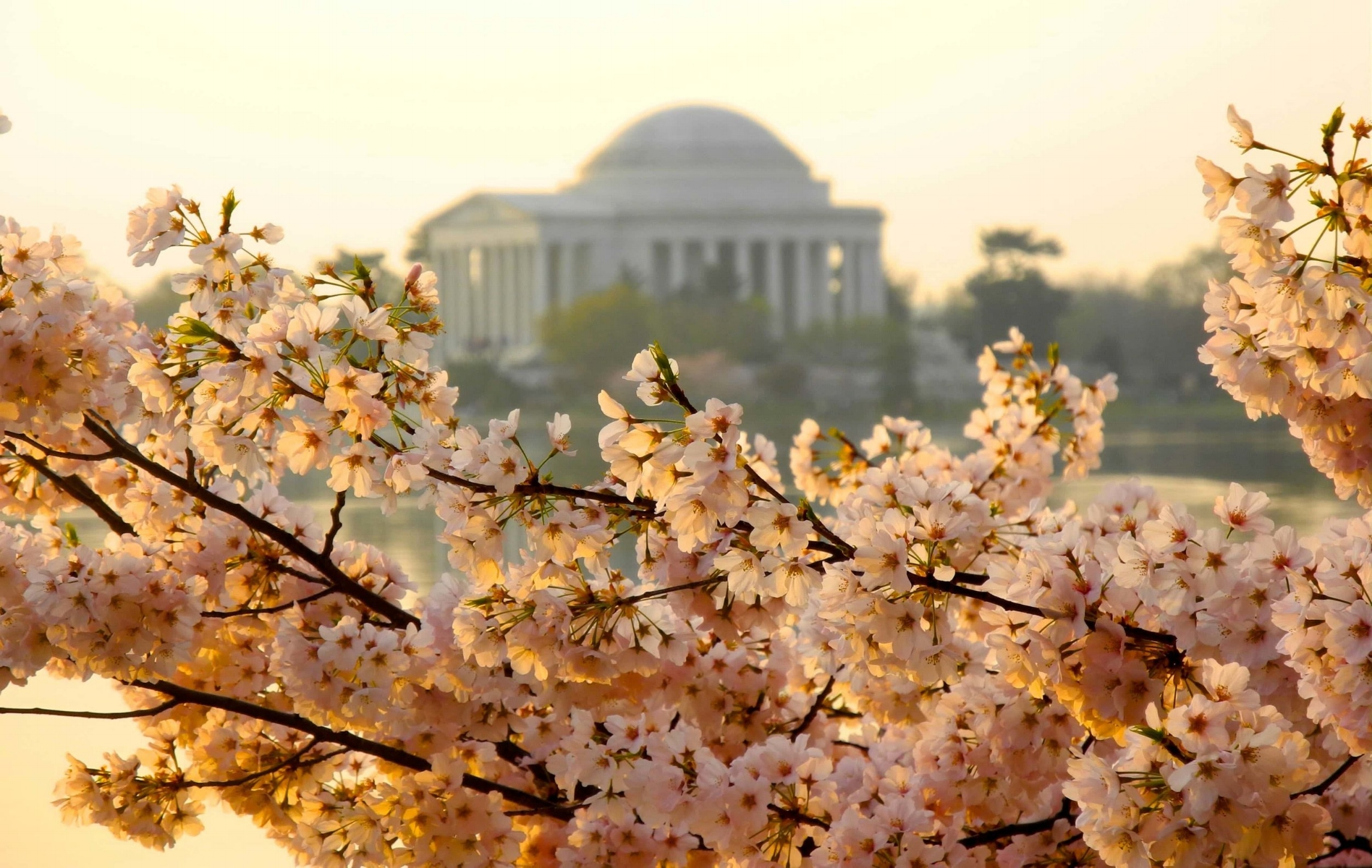 Cherry Blossoms in D.C. / image:  flyopedia
