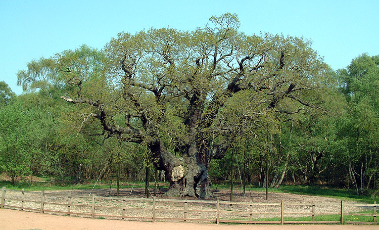 """2014 winner of """"Britain's Most Famous Tree"""" was this English Oak of Sherwood Forest /Image:  majoroak.org"""