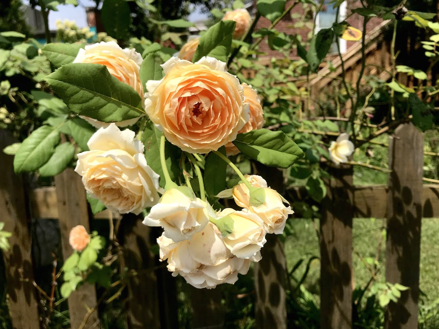 Ancient Beauty - Roses were probably the first flower to be cultivated for decorative purposes. Their images appear in art & architecture created during the Roman Empire, as well as even further back in Shang Dynasty China (circa 1400 B.C.E)