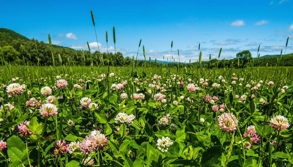 Field of Clover, Trifolium repens ID  120519220  ©  Daniil Belyay   Dreamstime.com