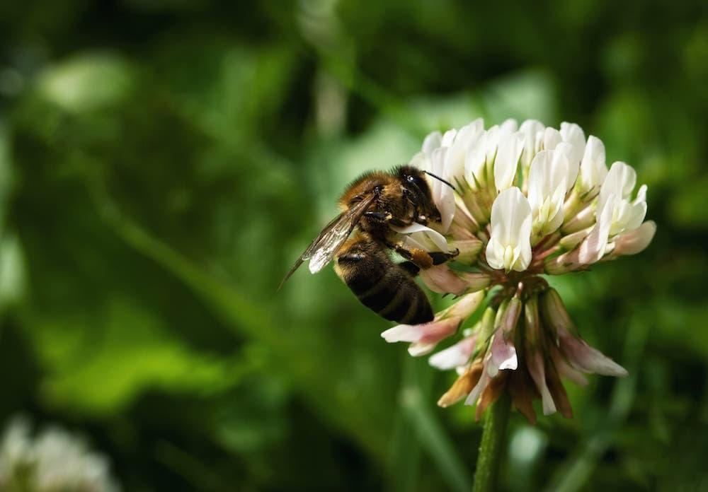 Bee on clover, trifolium ID  118760288  ©  Jozef Jankola |  Dreamstimeom