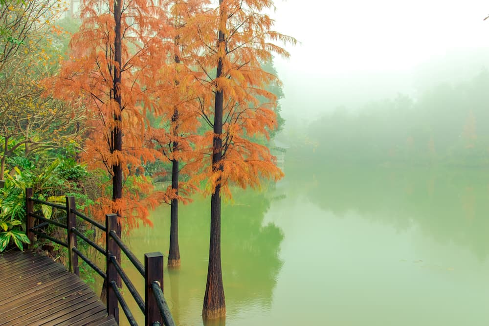 Dawn Redwood, Metasequoia Glyptostroboides ID 64079307 © Chen Li | Dreamstime.com.jpg