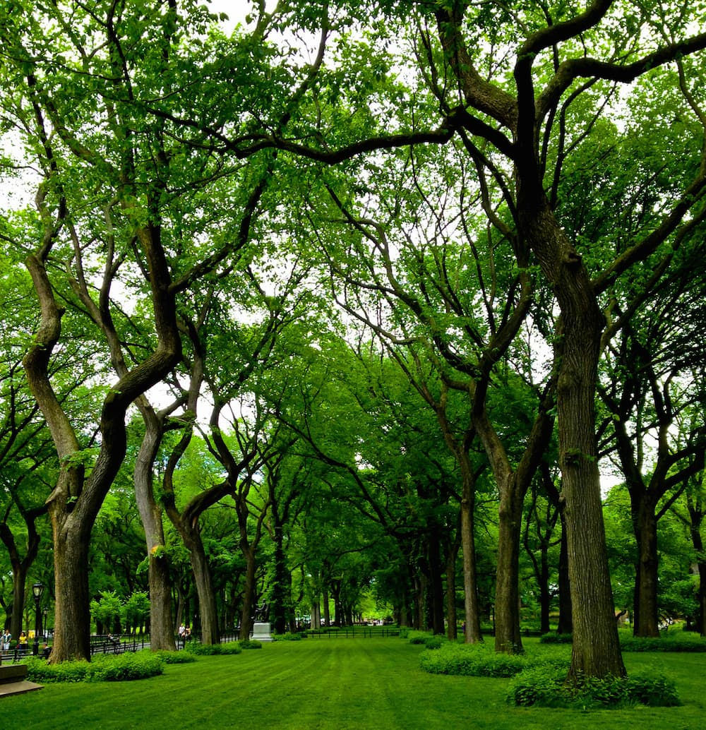 elm trees in NYC Central Park dreamstime_xxl_27291728 copy.jpg