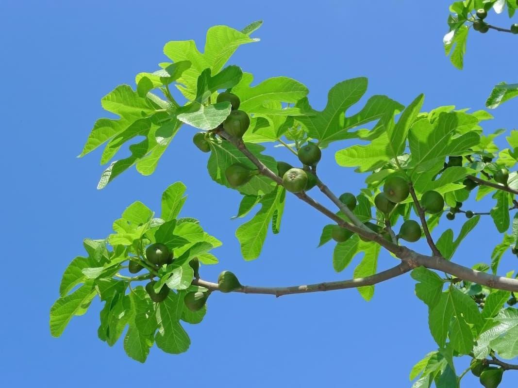 fig-tree-ficus-carica-ID  14112219  ©  Verastuchelova  |  Dreamstime.com