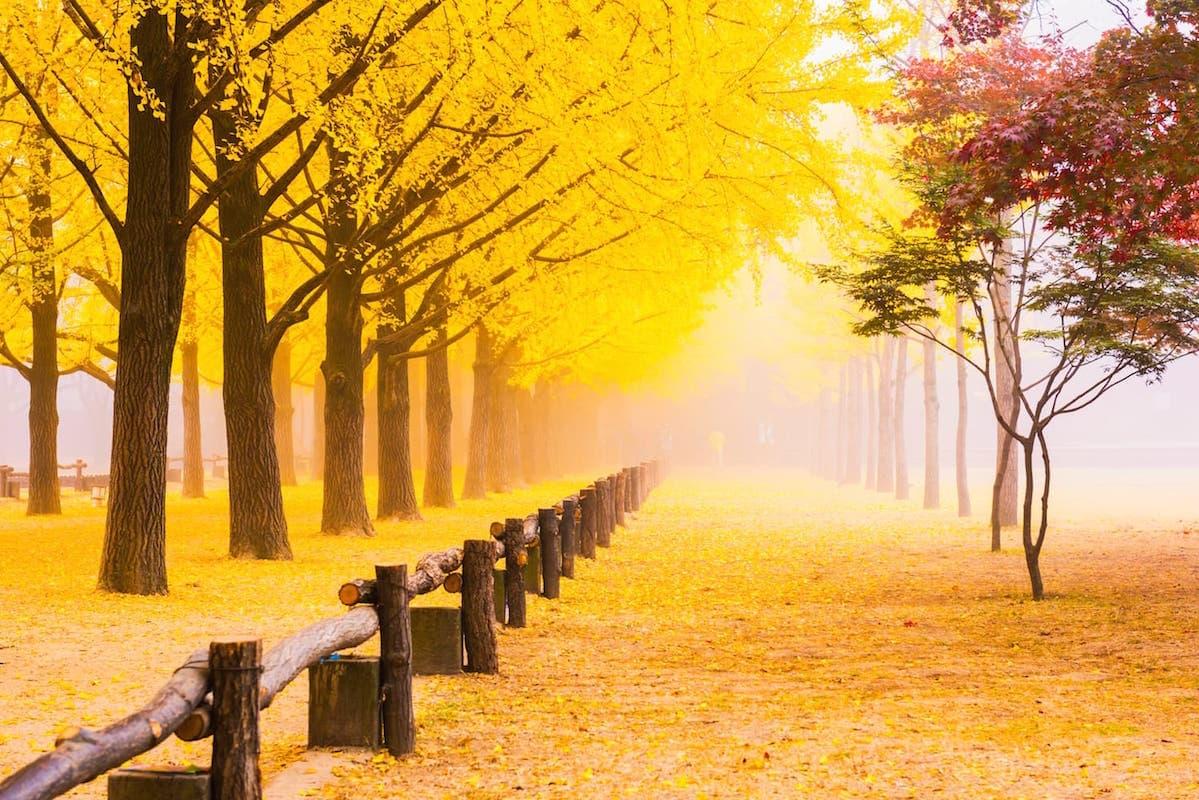 ginkgo-trees-ginkgo-biloba ID 107012623 © Cj Nattanai | Dreamstime.com