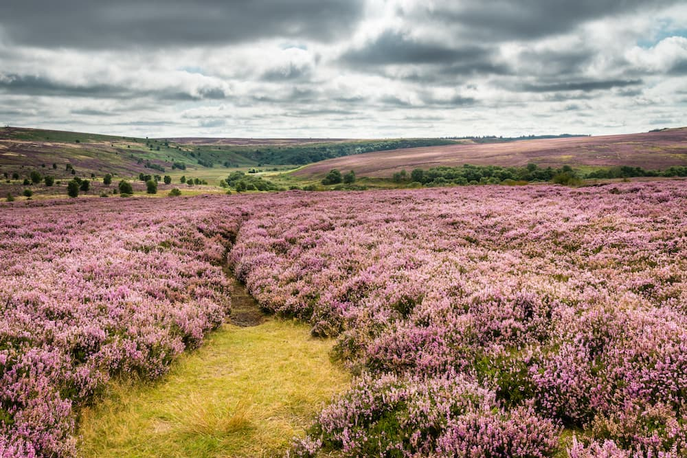 Heath in Goathland England ID 59829986 © David Head | Dreamstime.com.jpg