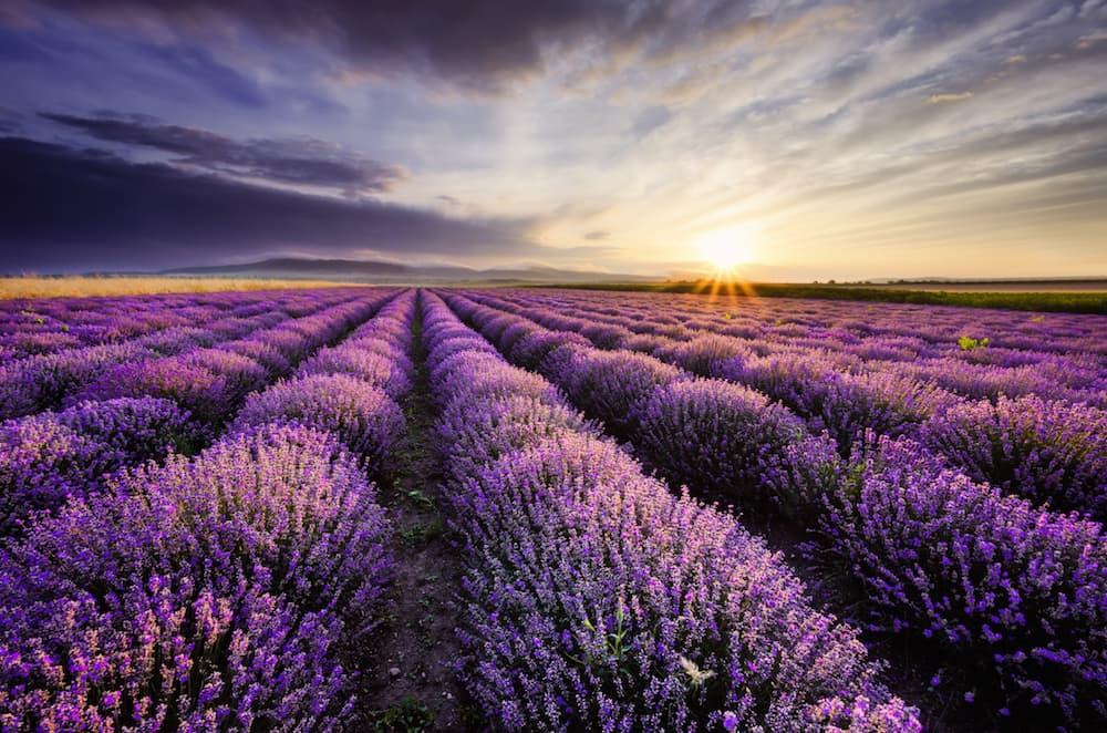 Lavender field ID 42517507 © Monodon | Dreamstime.com.jpg