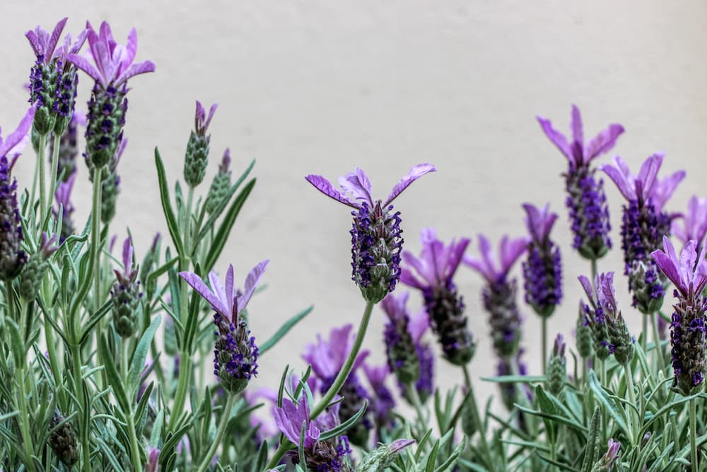 Lavender flower ID 105471048 © Ji Chen | Dreamstime.com.jpg