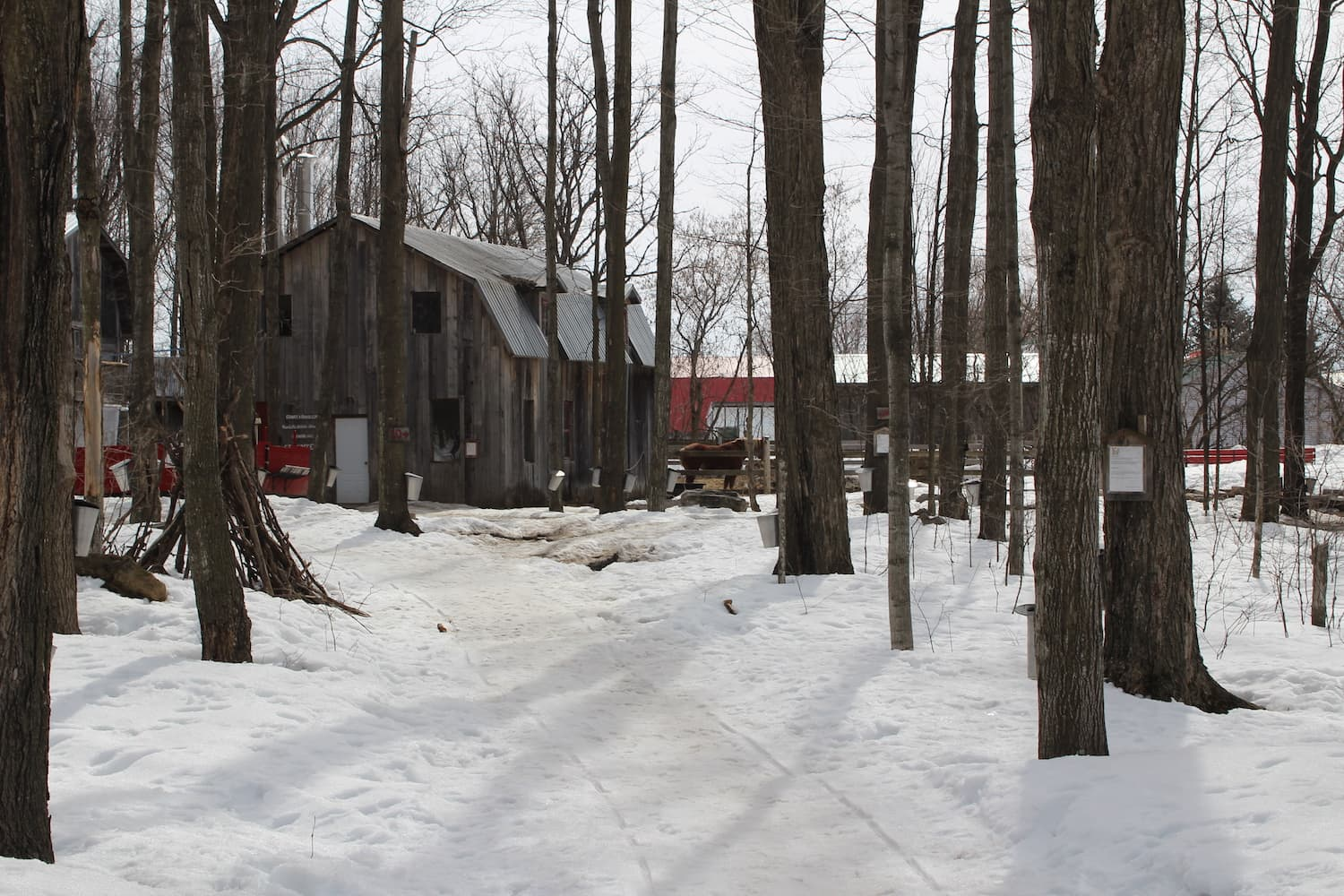 sugar maple harvest, sugar shack.jpg
