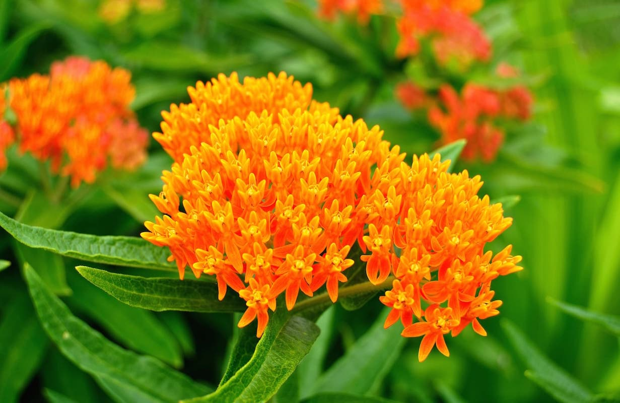 butterfly-milkweed-flowers ID 10038092 © Mark Herreid | Dreamstime.com