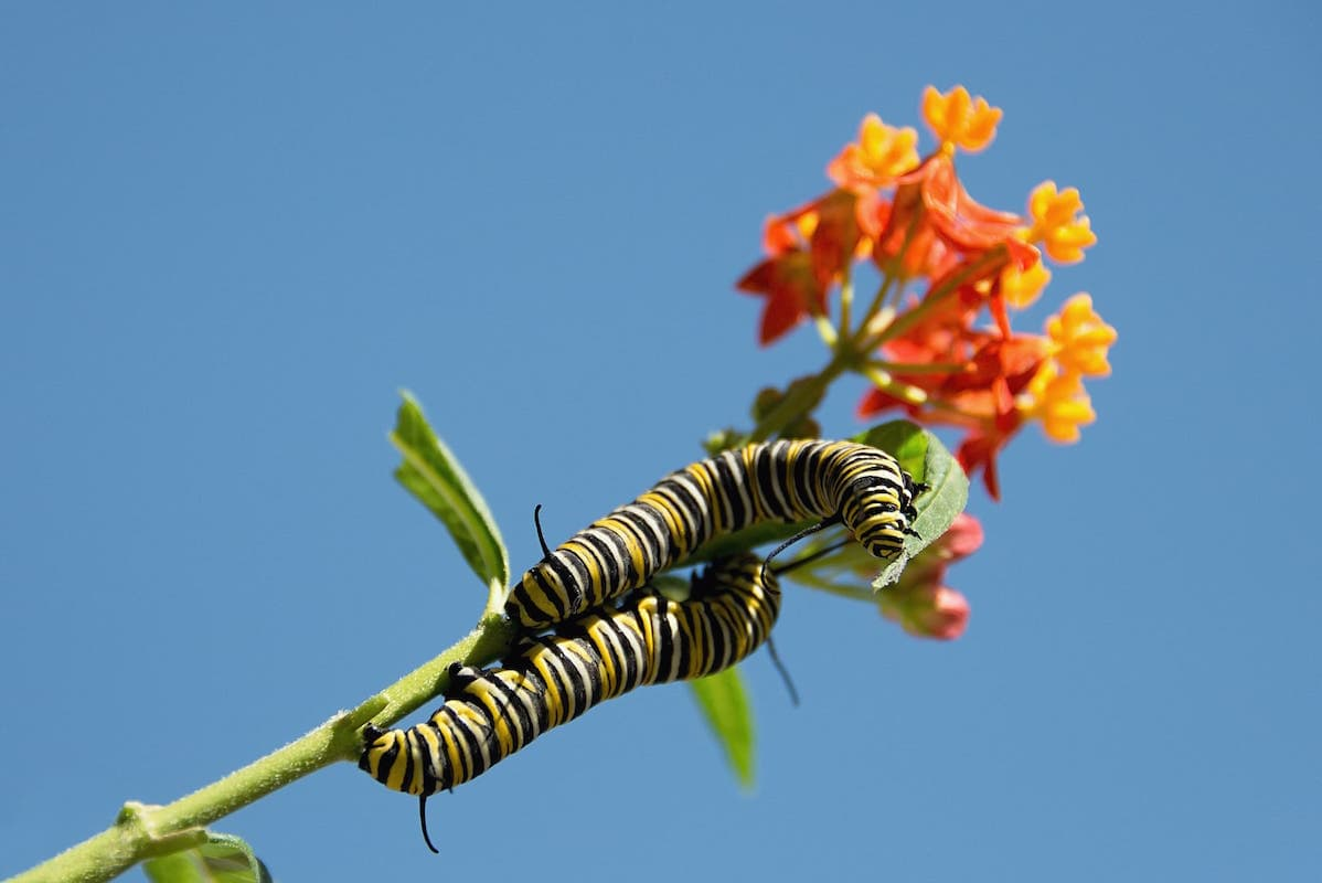 butterfly-milkweed-flowers-with-monarch-caterpillars ID 104483452 © Pavol Stredansky | Dreamstime.com