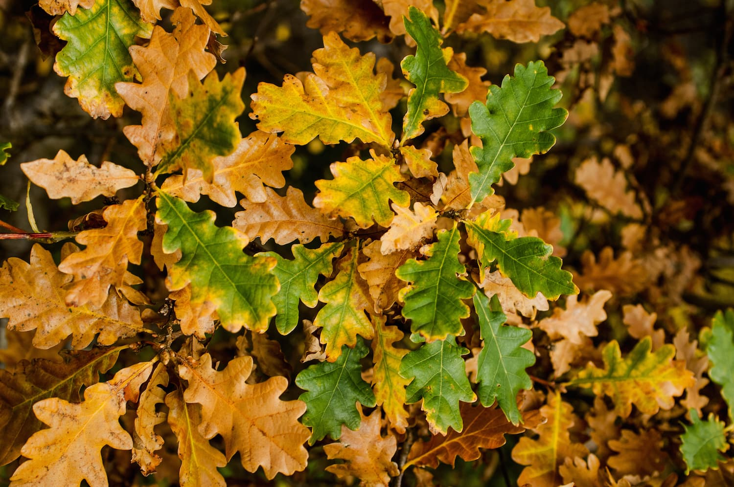 irish-oak-leaf-sessile-oak ID 49787972 © Alex Scott | Dreamstime.com