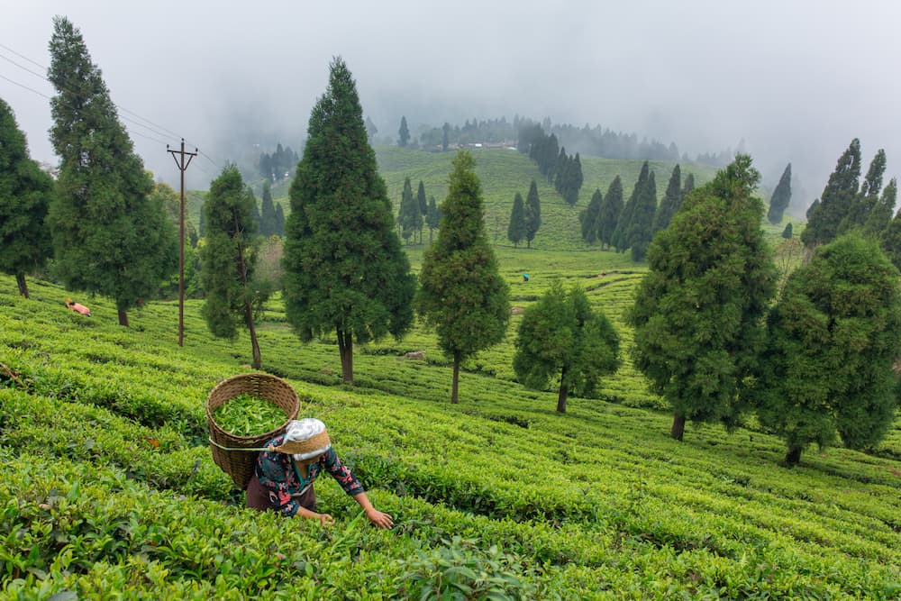 tea-plantation-sikkim-india ID 109485065 © Aliaksandr Mazurkevich | Dreamstime.com.jpg