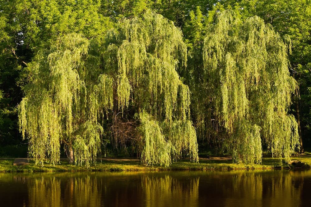 weeping-willow-tree-by river ID: 93998337 © Tommy Brison | Dreamstime.com