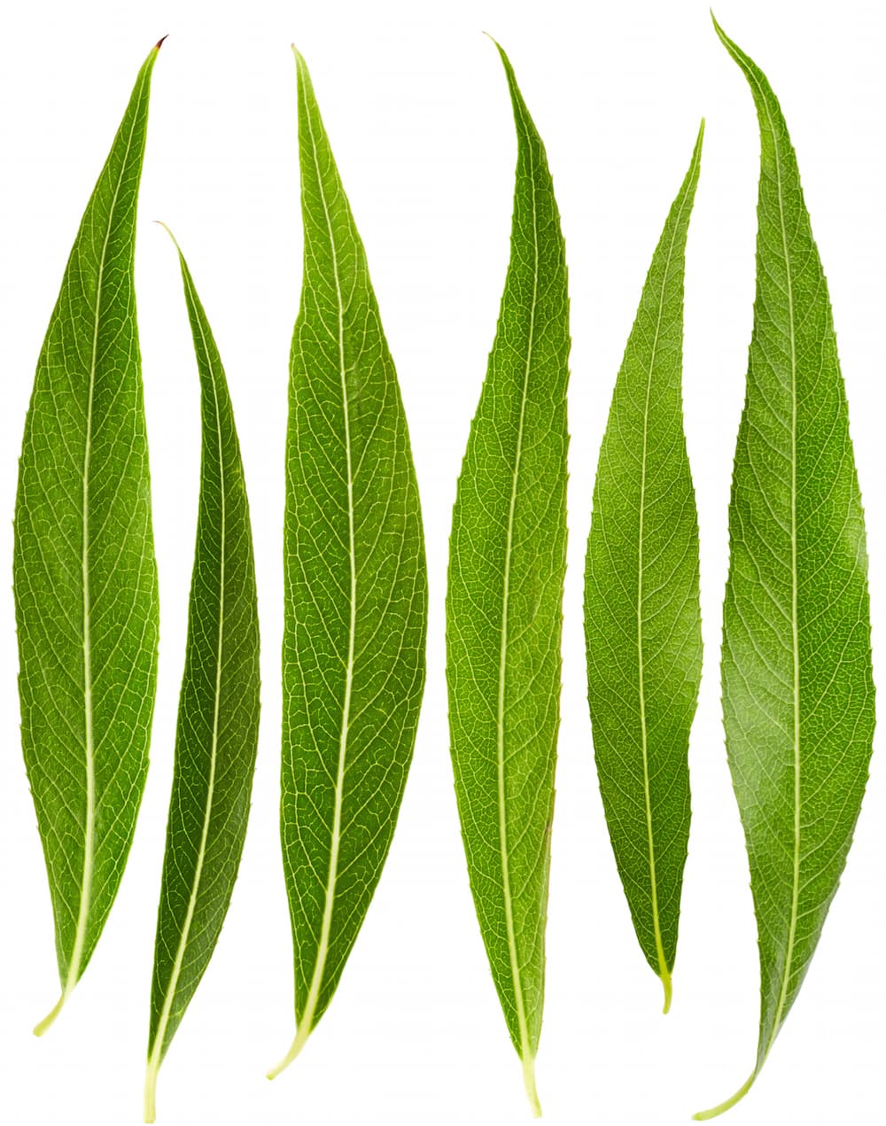 willow-leaves-ID 57685841 © Nikmerkulov | Dreamstime.com.jpg