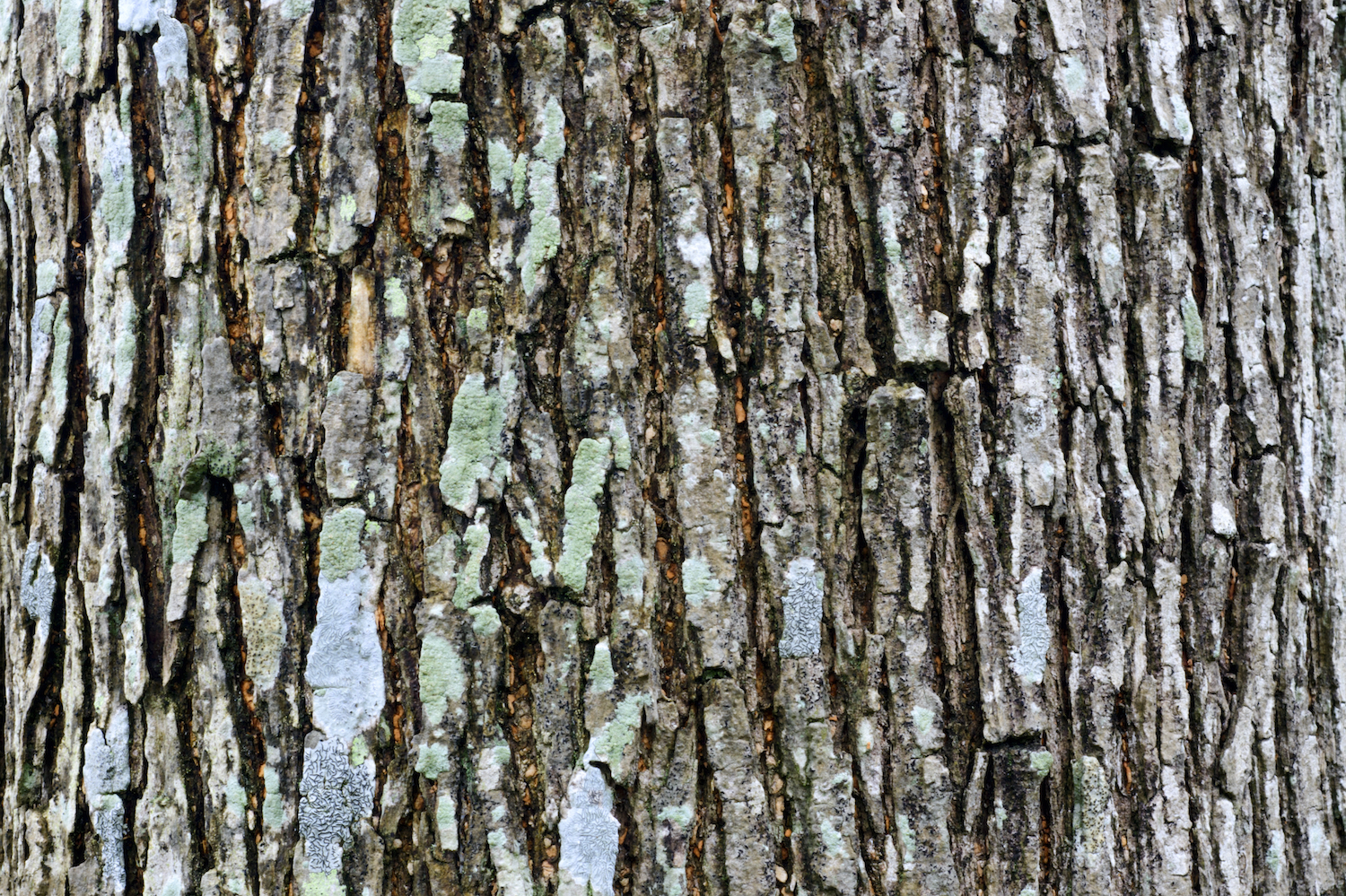 willow tree bark ID 67781166 © Linjerry | Dreamstime.com.jpg