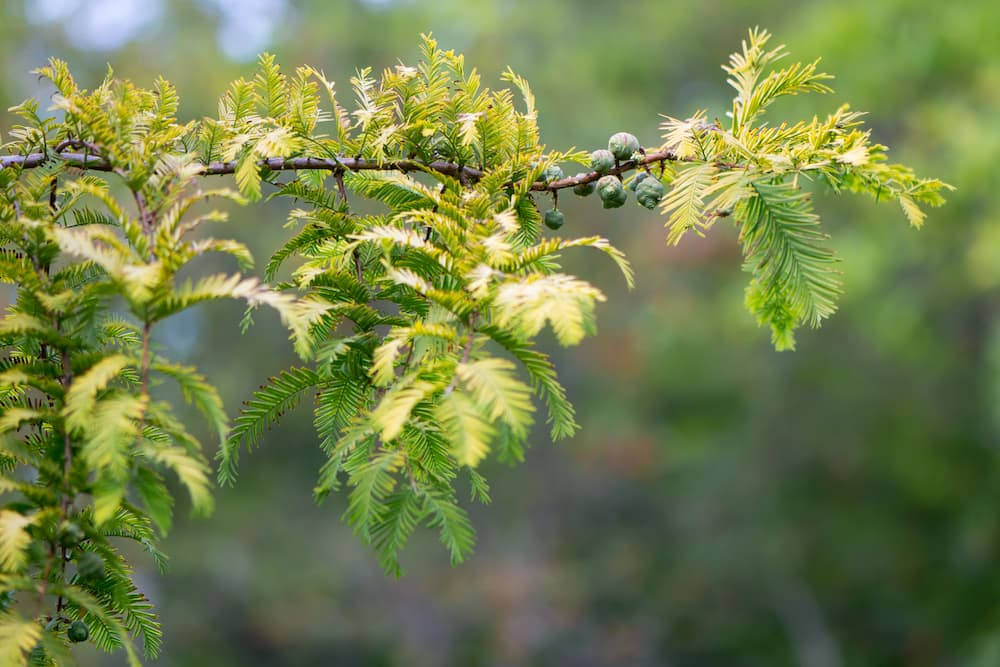 dawn redwood leaves coens ID 76715187 © Ian Redding   Dreamstime.com.jpg