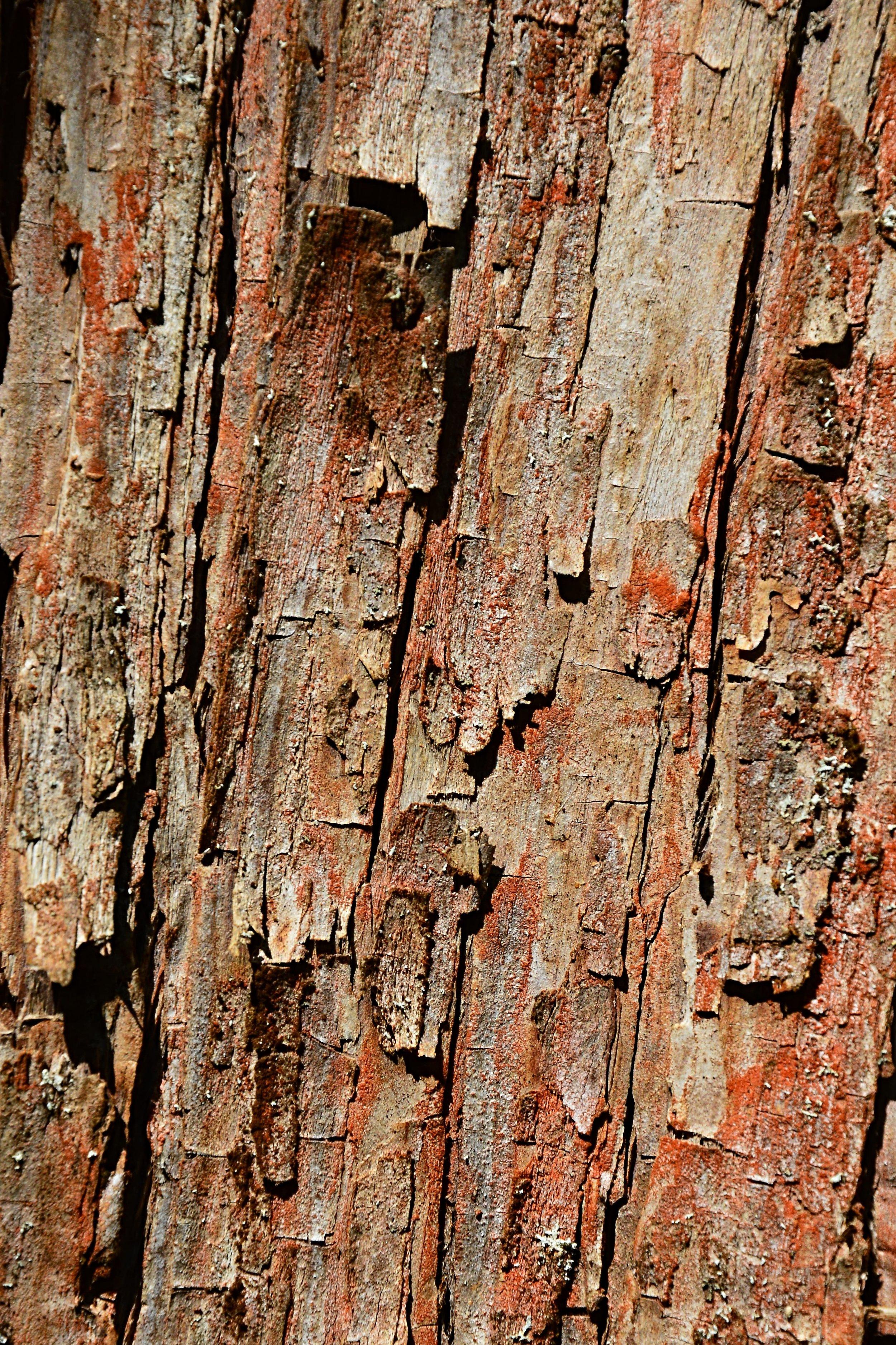 dawn redwood bark ID 100322350 © Zayacskz | Dreamstime.com.jpg