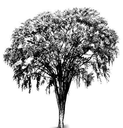 elm tree proile - 1.jpg