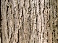 elm-tree-bark.jpg