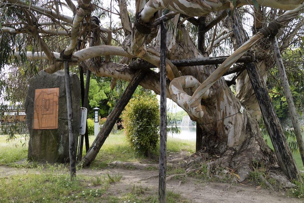 eucalyptus tree bombed in hiroshima 1945 ID 102613233 © Pipa100 | Dreamstime.com.jpg