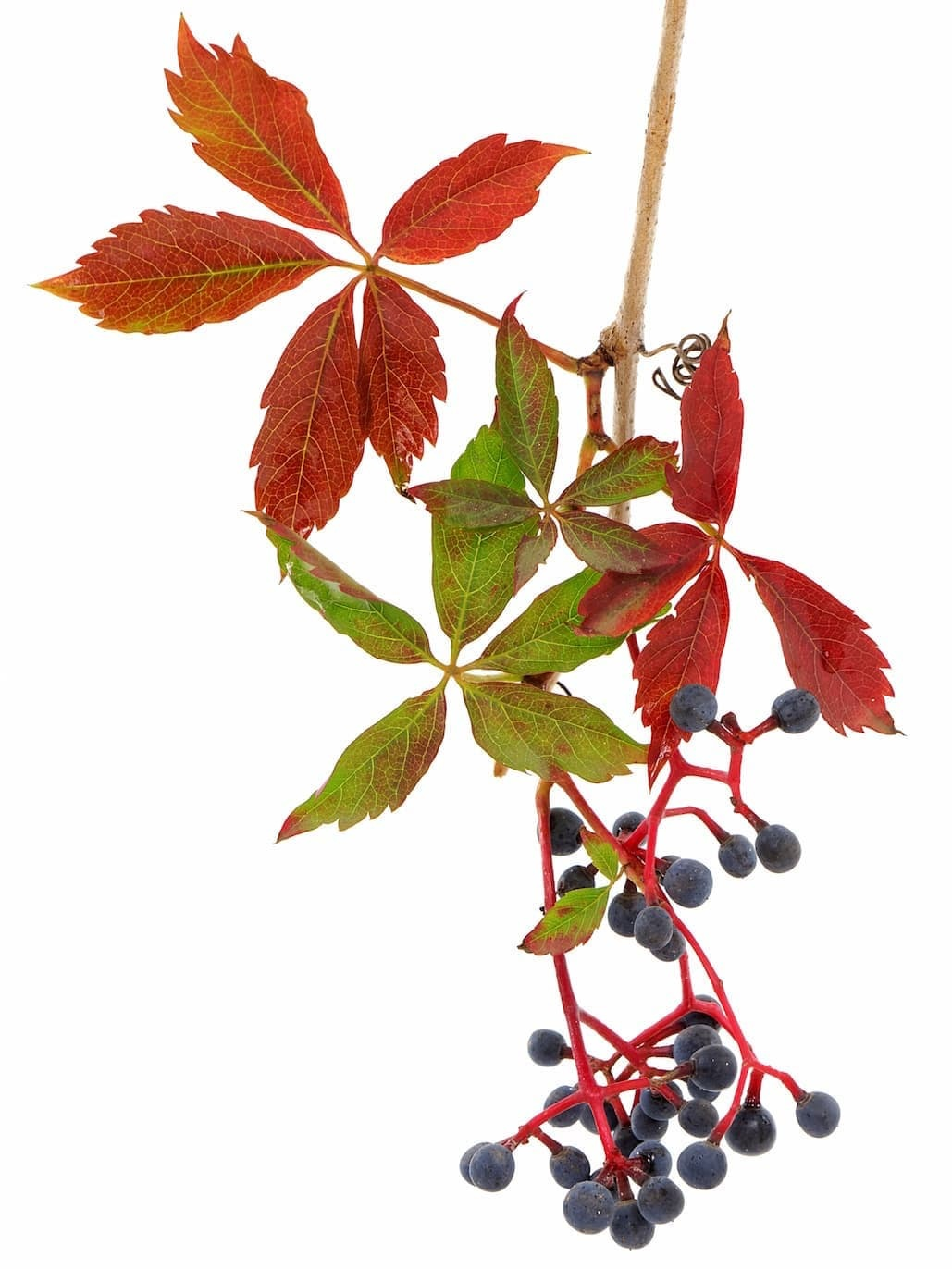 Virginia-Creeper-identification ID: 126729602 © Emilio100 | Dreamstime.com