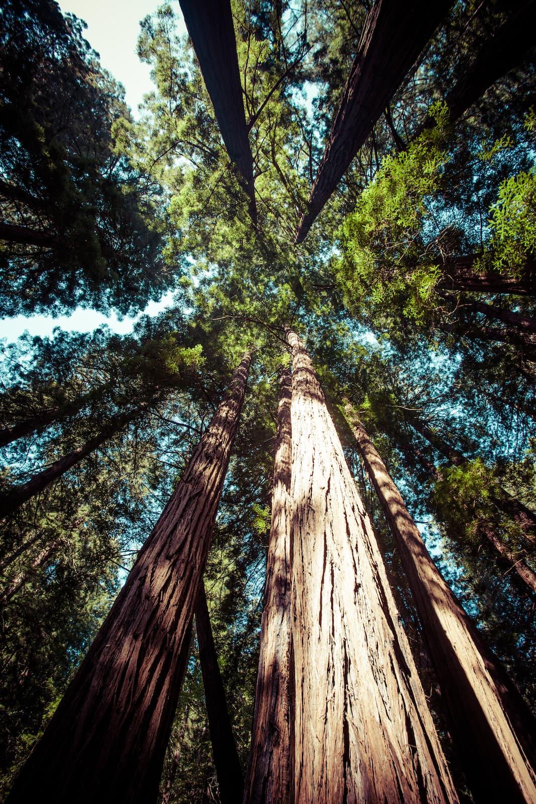 Coast Redwood, sequoia sempervirens, dreamstime_xxl_39896018.jpg