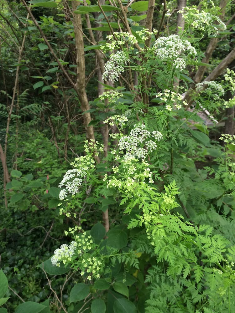 Hemlock plant along the James River, Richmond VA