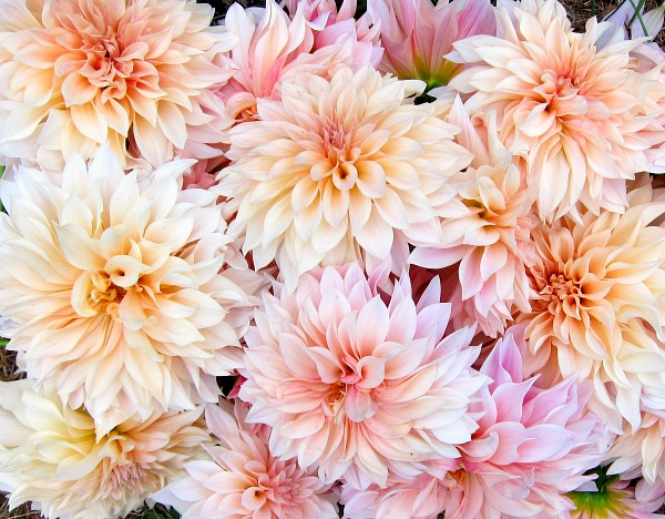 We just got our huge shipment of dahlia tubers-a variety called Cafe au Lait. They are so gorgeous. I might even call them sumptuous. I can't wait until we can tuck them into the bouquets for our csa shares. They bloom from mid/late summer straight until frost!