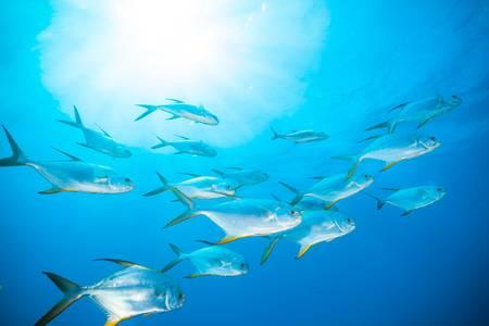 63054029-flock-of-fish-flowing-in-indian-ocean.jpg