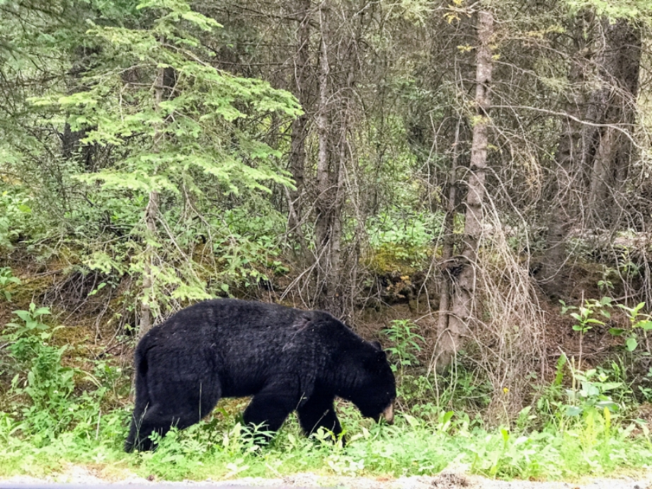 Black bear spotted munching on leaves near Johnston Canyon.  Warning : do not get out of your car anywhere near a bear!