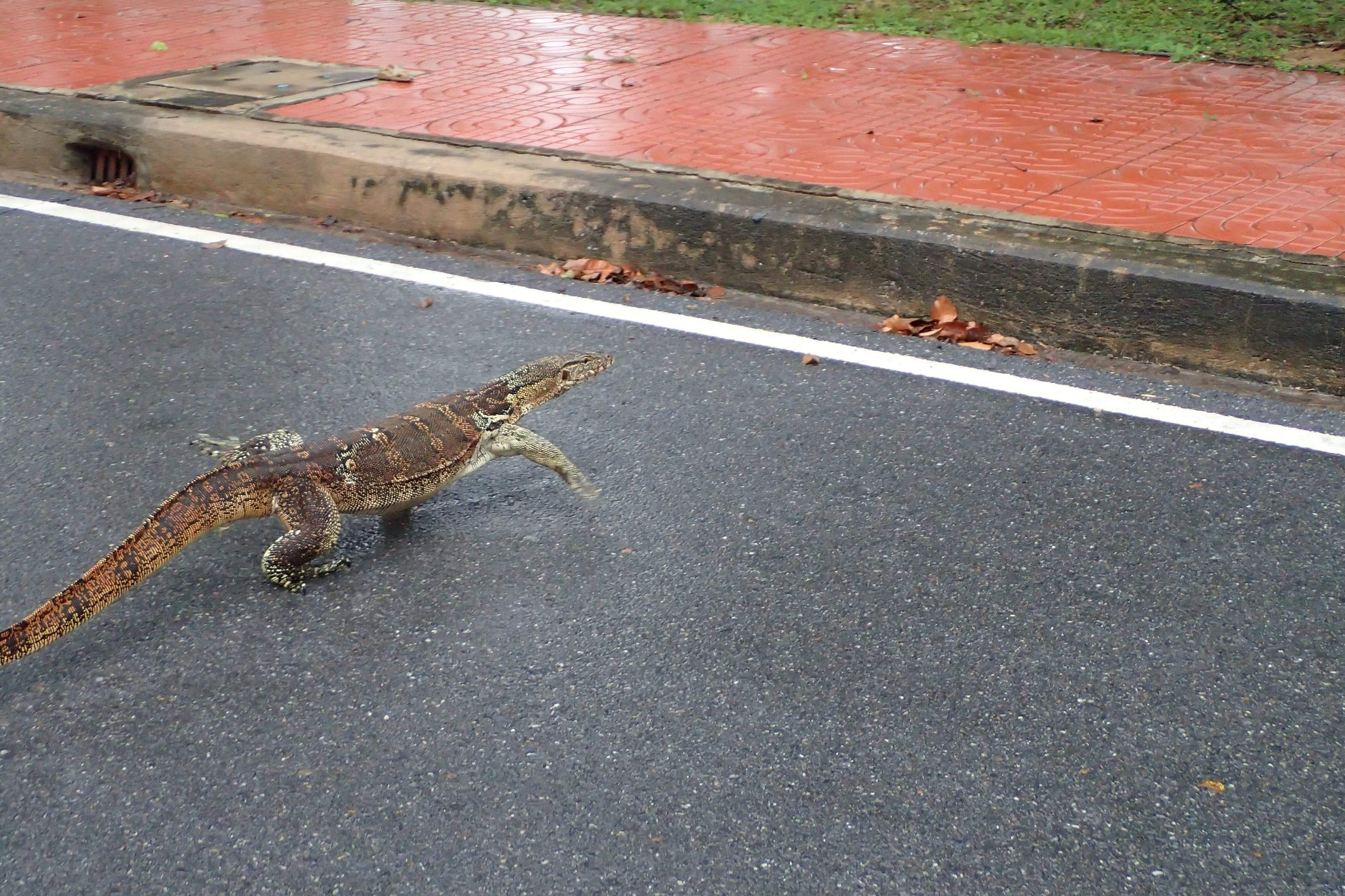 Big monitor lizard. These things are fast and gnarly looking. I wouldn't want to be chased by one.