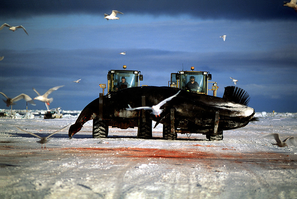 Luciana Whitaker _ People of the Ice _ Loaders and Bowhead Whale.jpg