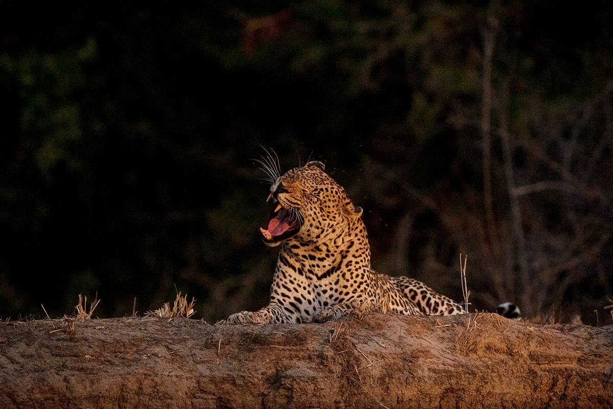 NellDickerson_NightGrowl_Leopard.jpg