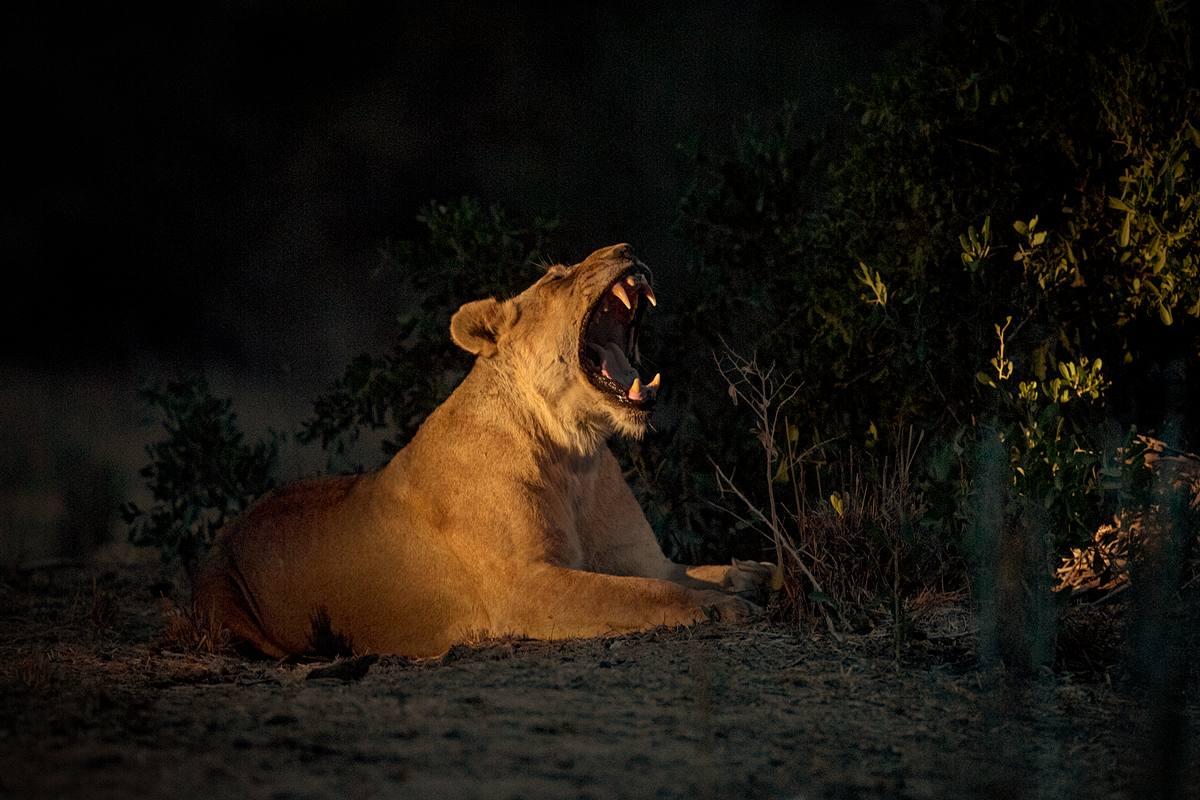 NellDickerson_NightGrowl_Lioness.jpg