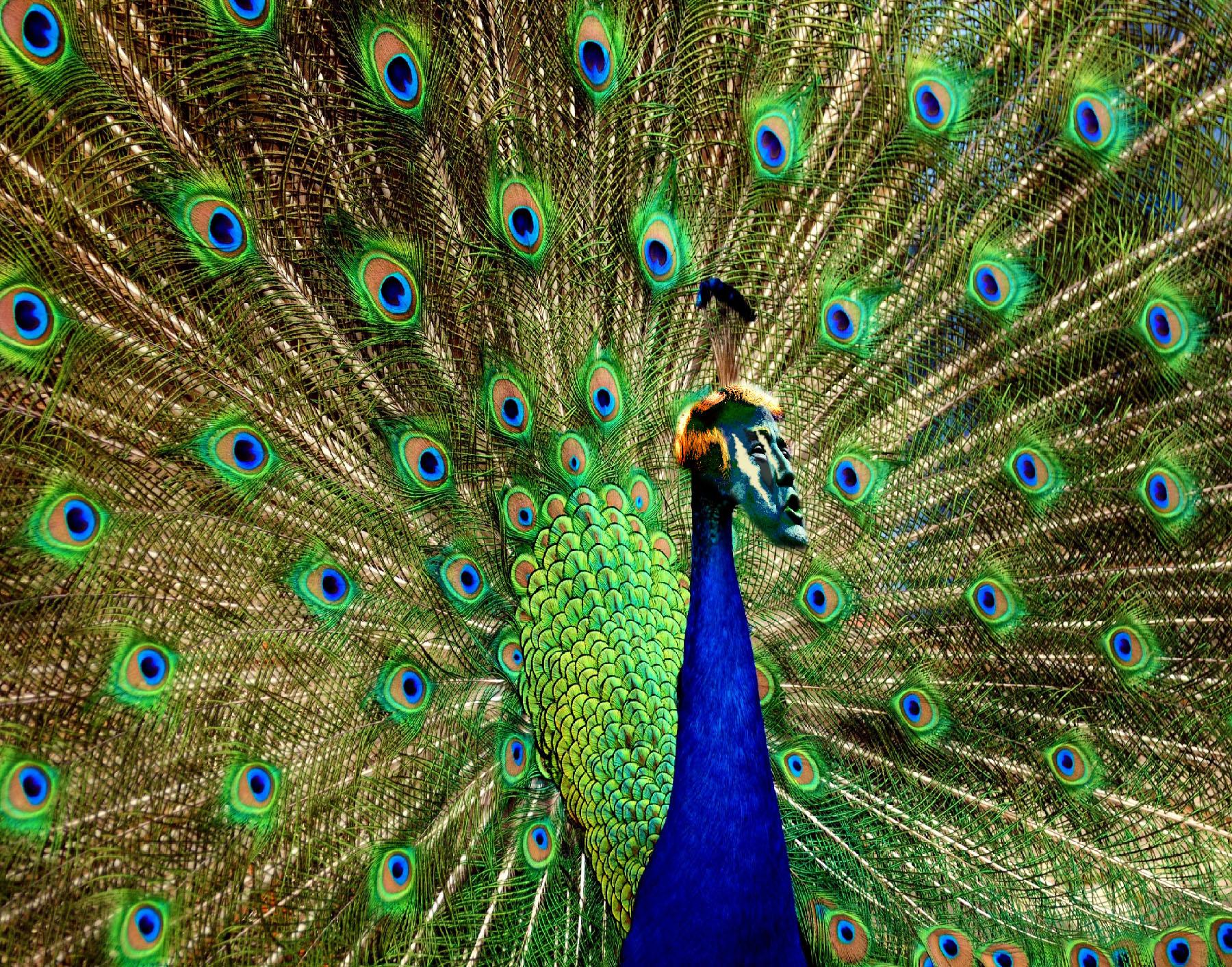 Trumpeting Peacock