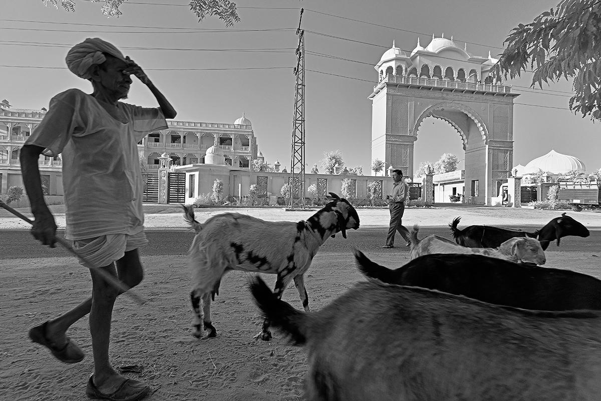Rajasthan Shepherd