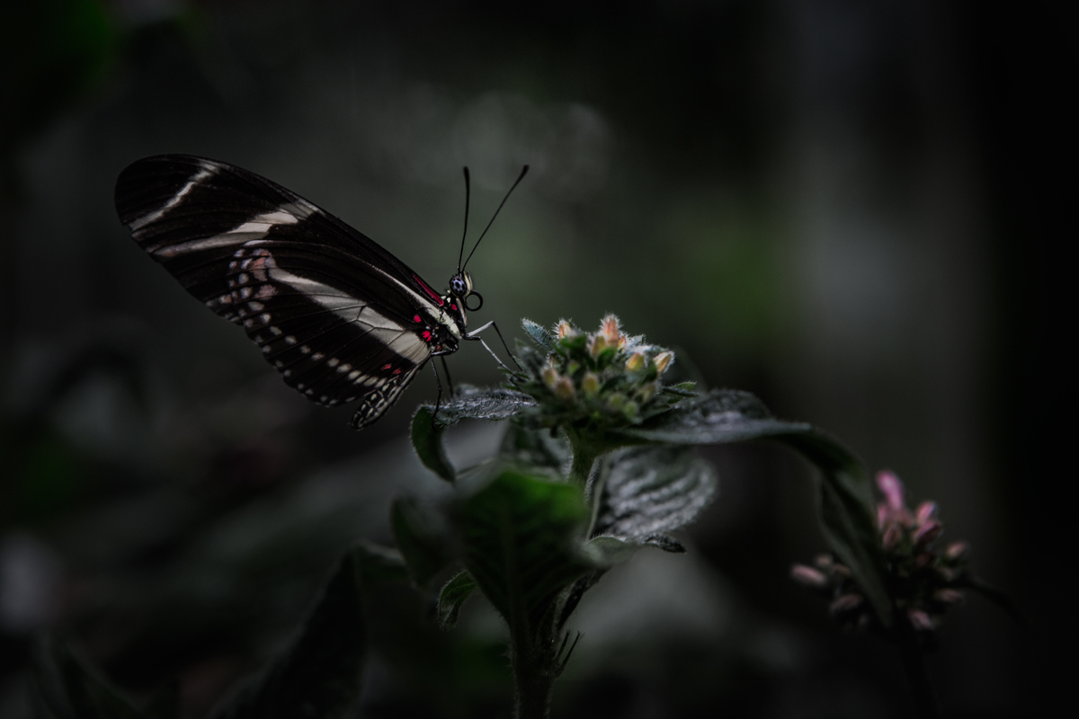 samuel Feron_Series Butterflies_Butterfly3.jpg