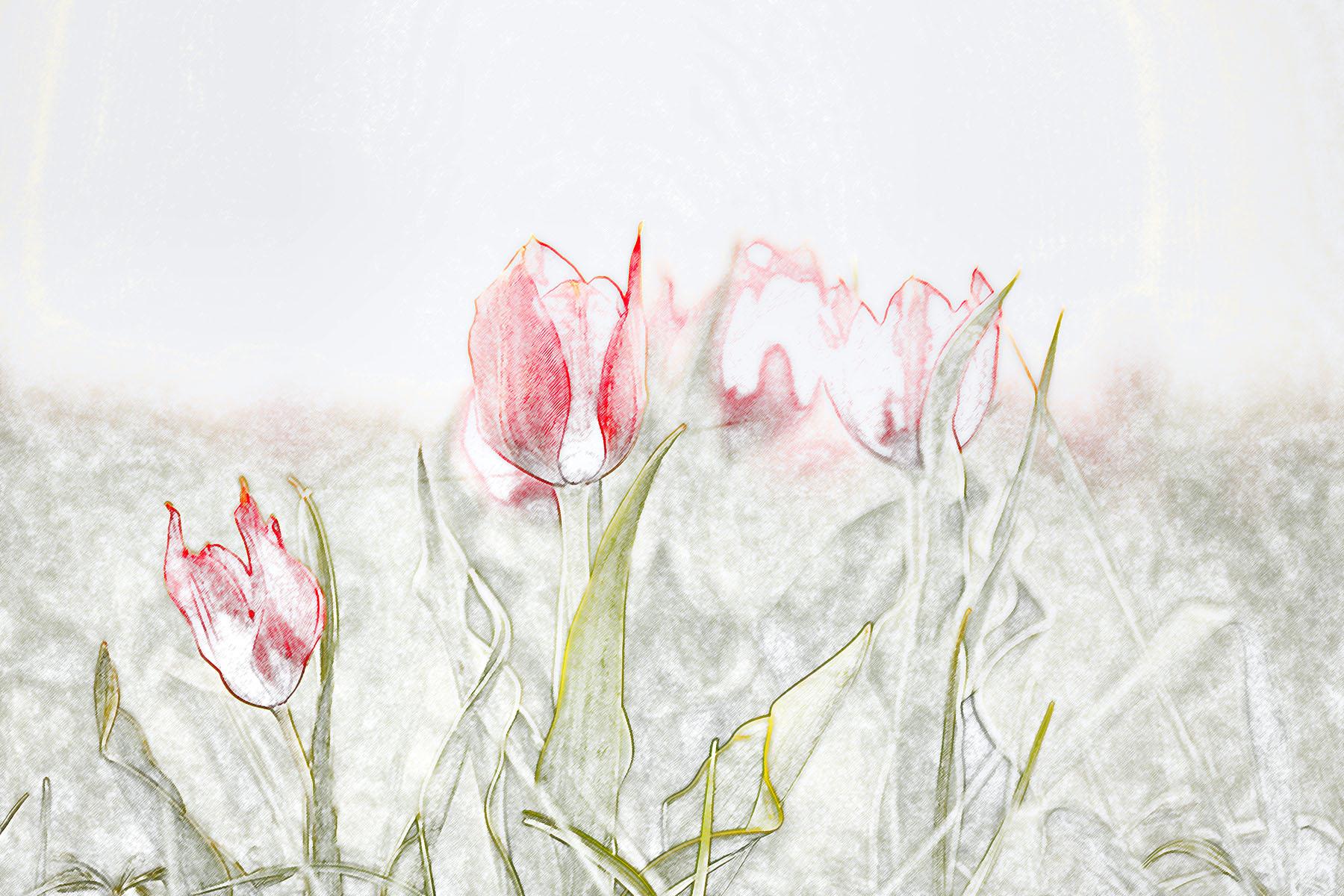Buket Ozatay_Series Mysthesis of Tulips_Tulip 1.jpg