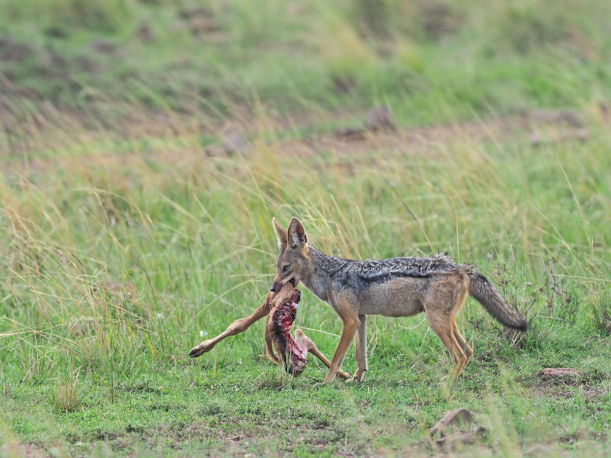 RanjanRamchandani_Prey and predator_The Jackal.jpg