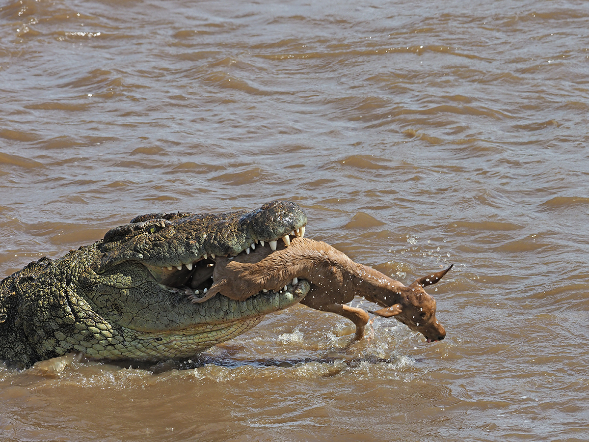 RanjanRamchandani_Prey and predator_The Crocodile.jpg