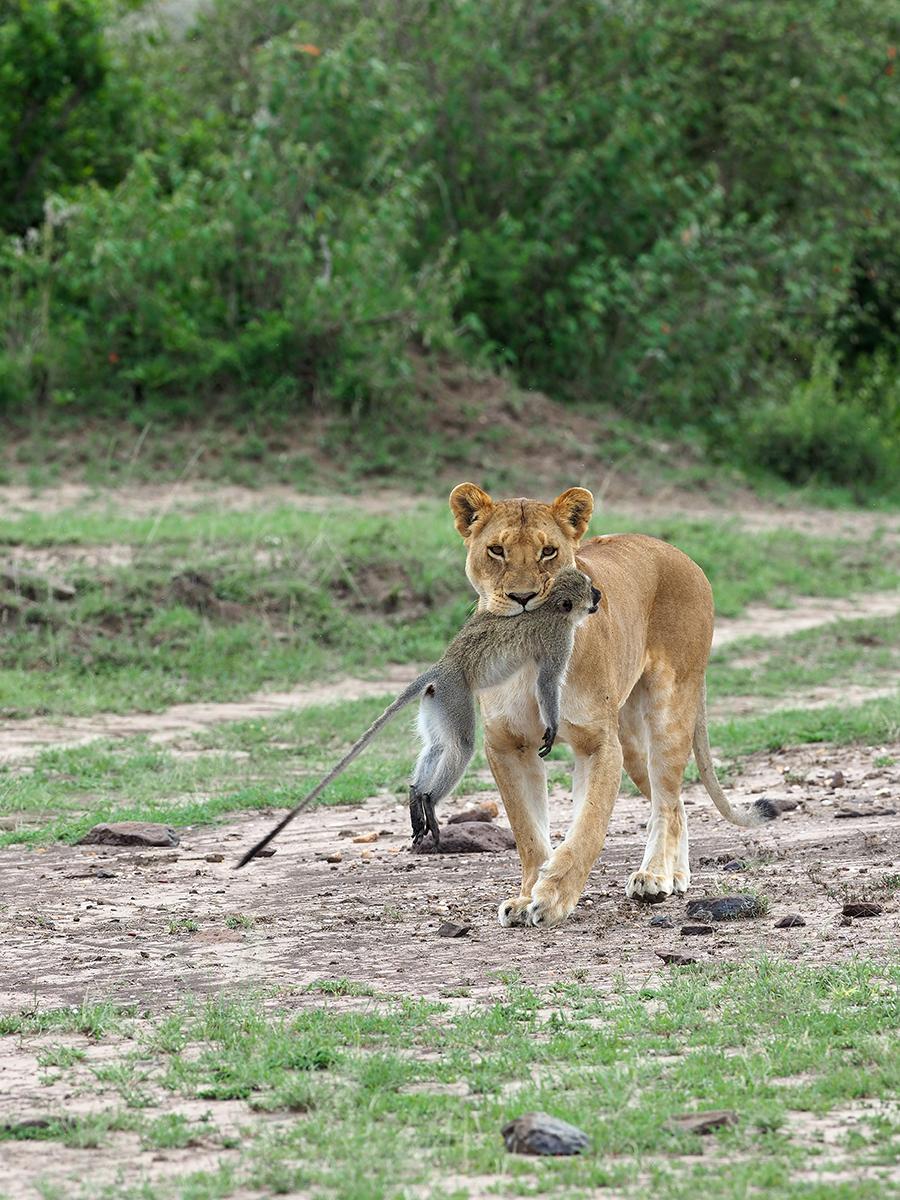 RanjanRamchandani_Prey and predator_The Lioness.jpg