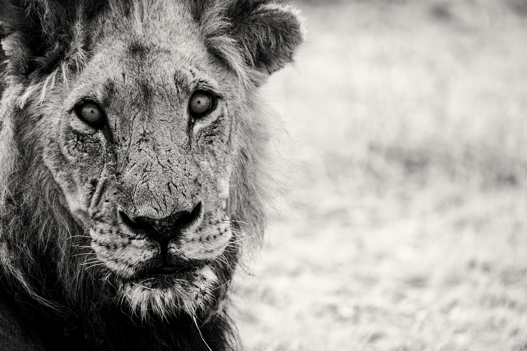 Kathleen Gerber_Lion's Gaze.jpg
