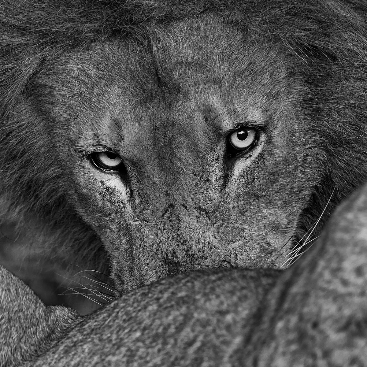 Prelena Soma Owen_The Lion's Share.jpg