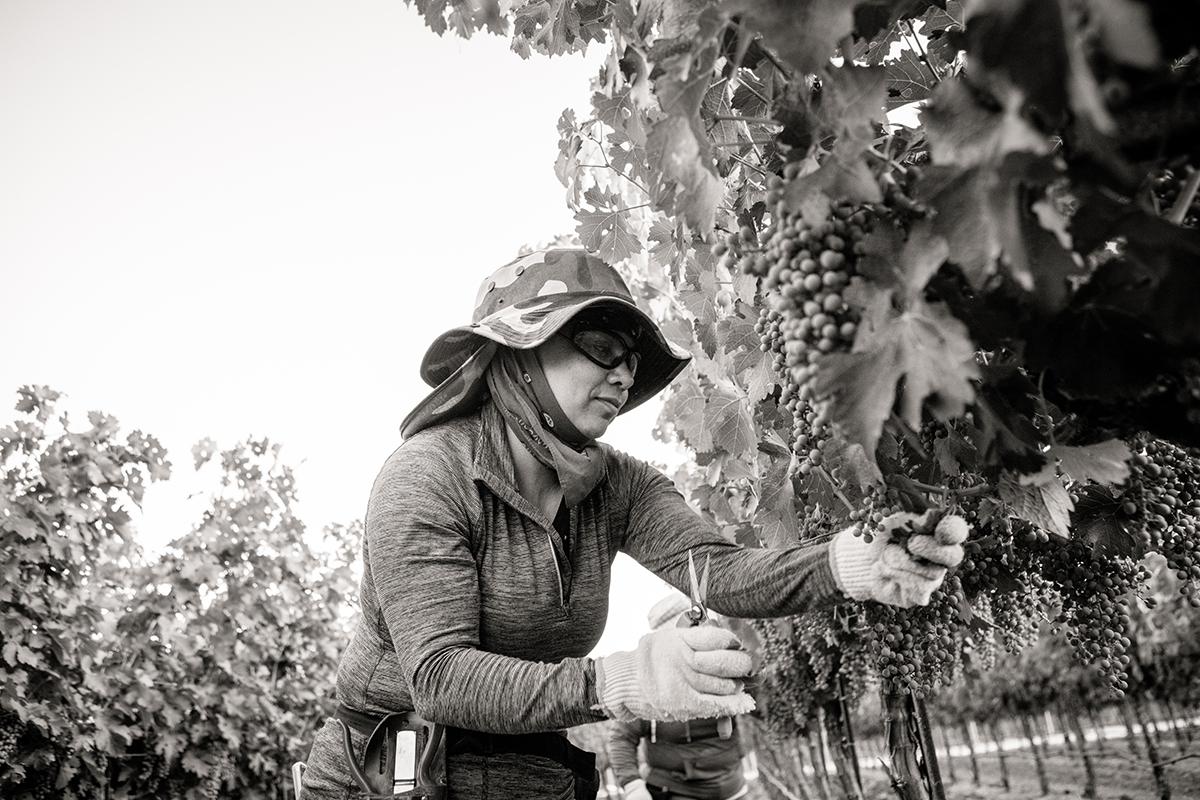 SuzanneBeckerBronk_Vineyard Women_Dropping Fruit 2.jpg