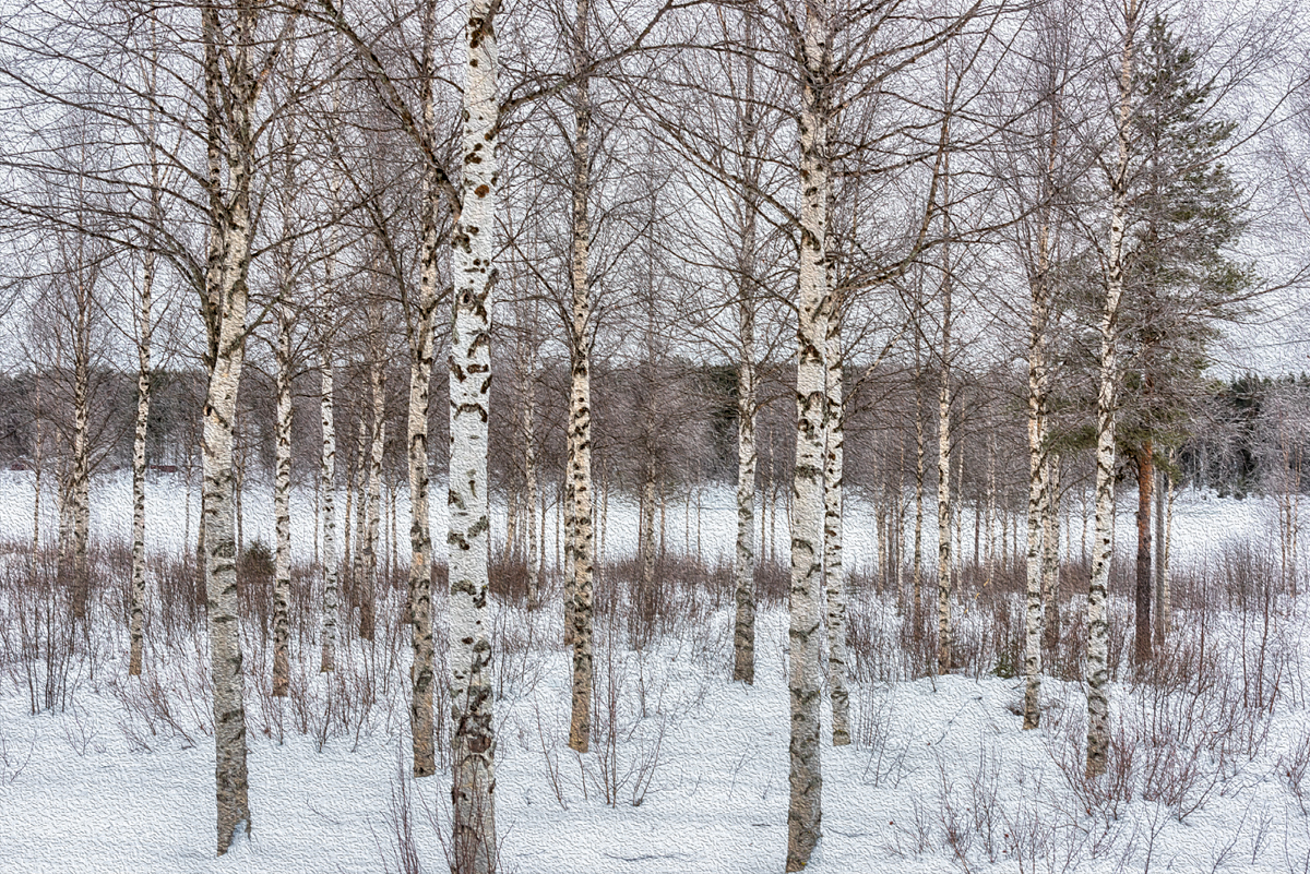 Roberta Kayne_Birch Trees in Finland.jpg