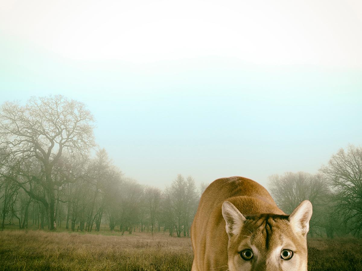 LennetteNewell_mountain lion.jpg